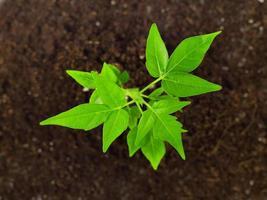 kleine plant in vuil foto
