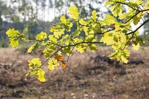 eikenbladeren wankelen van de wind in het wild. foto
