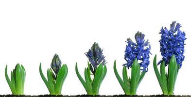 blauwe hyacint bloeien foto