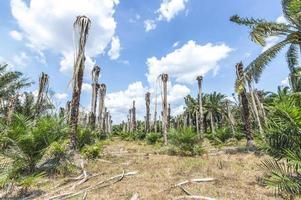 olie palmboom