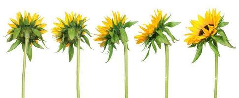 zonnebloemen - achteraanzicht foto
