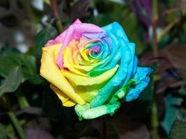 kleurrijke regenboog roos foto