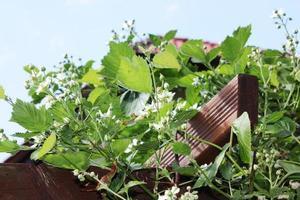 frambozenplant met veel witte bloemen, tuin blauwe lucht