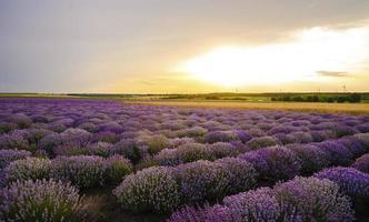 zonsondergang over lavendelveld met windturbine foto