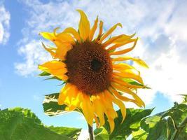 bloeiende zonnebloem op blauwe hemelachtergrond.