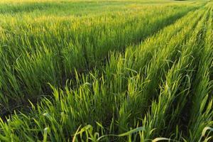 rijen in het groene tarweveld op zonsondergang foto