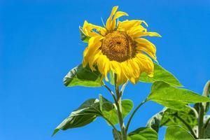 bloeiende zonnebloem op blauwe hemelachtergrond. foto