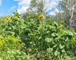 bloeiende zonnebloemzonnebloemen op onscherpe achtergrond bij zonnige dag