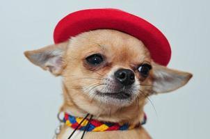 gelukkige mexicaanse chihuahua foto