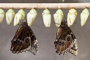 opkomende vlinders foto
