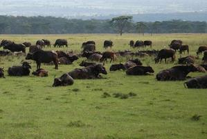 kudde waterbuffels in rust foto