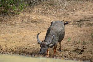 water Buffel
