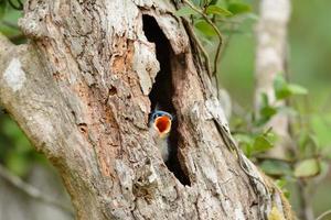 boomklever met fluweelvoorhoofd (sitta frontalis) foto