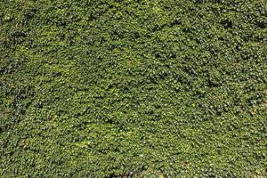 klimop (hedera). natuurlijke groene achtergrond. foto