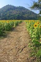 zonnebloemen op het veld in de zomer foto