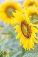 zonnebloemen in het veld foto