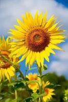 landbouw stock beeld - zonnebloem veld foto