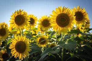 gele zonnebloemen in bloei foto