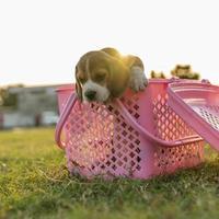 kleine hond in roze plastic mand foto