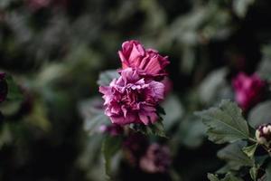 close-up van roze anjerbloemen foto