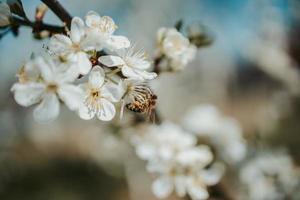 honingbij op witte kersenbloesem foto