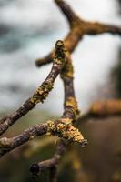 korstmos groeit op boomtak foto