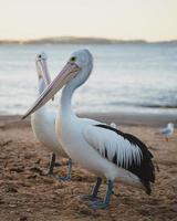 pelikanen op het strand foto