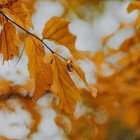 close-up van ring op herfstbladeren foto