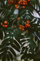 oranje bessen op plant foto