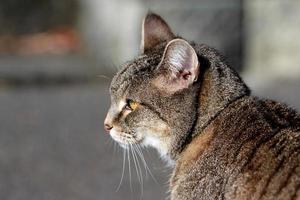 gestreepte kat in de straat foto