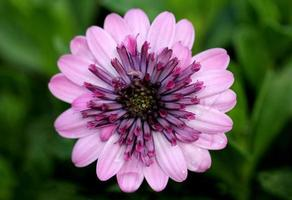 roze madeliefjebloem foto