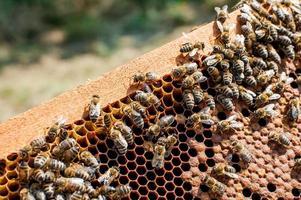 honingbijen werken foto