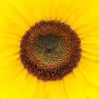 close up van een zonnebloem. foto