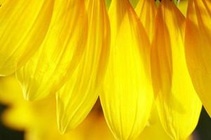 zonnebloem bloemblaadjes foto