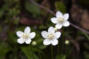 witte wilde bloemen foto