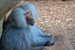 denkende baviaan foto