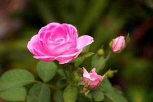 roze rozen voor extractie van etherische oliën. (Rosa Damascena) foto