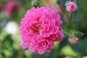 bloemen, roos, natuur foto