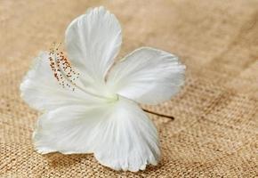 witte hibiscus foto