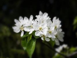 witte perenbloesem foto
