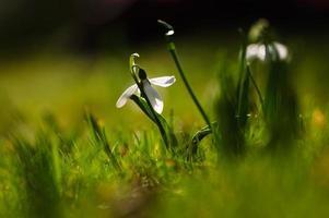 sneeuwklokje bloem in bloei