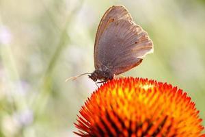 vlinder op echinacea bloem foto