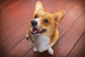 corgi dog soft focus klassieke toon foto