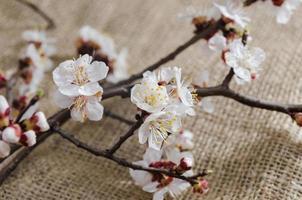 bloemen van abrikoos in april foto