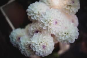 witte dahlia met violet hart close-up