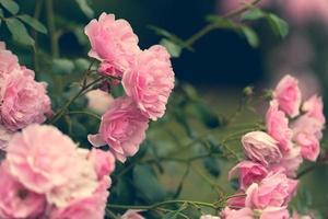 roze rozen in de tuin foto