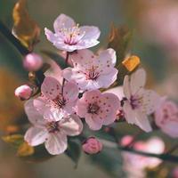 prachtige bloeiende Japanse kersensakura. foto