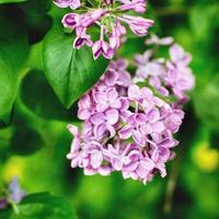 bloemen van bloesem boom foto