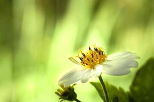 kersenbloesem, sakura bloemen