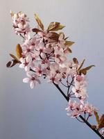 roze kersenbloesem foto